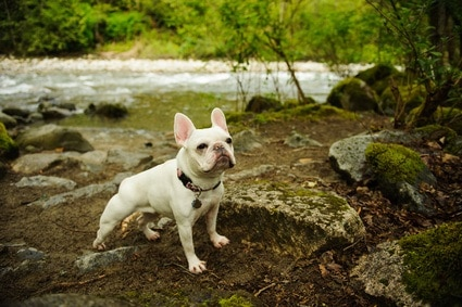 5 Best Dog Foods For French Bulldogs Great Dog Zone