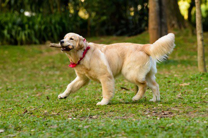 5 best brushes for golden retriever that really work great dog zone