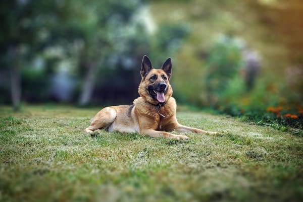 5 Best Dog Beds For German Shepherds Great Dog Zone