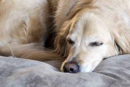 5 Best Dog Beds For Golden Retriever Great Dog Zone
